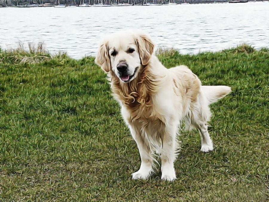 Zijn Golden Retrievers hypoallergene honden