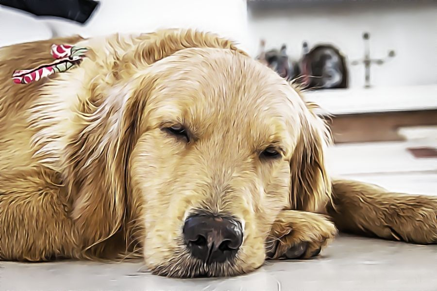 slapen golden retrieven veel