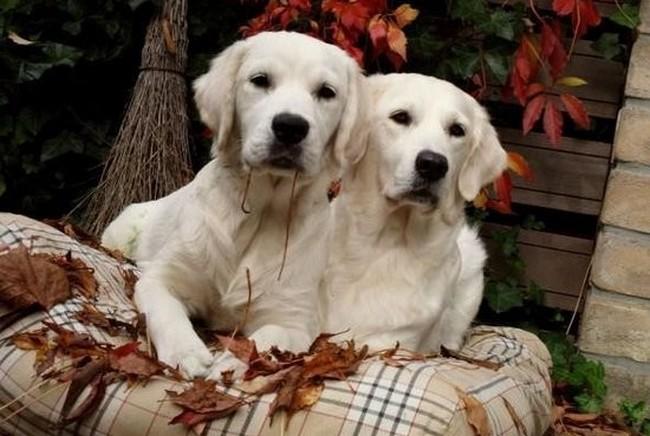 beste hondenkussen hondenmanden matrassen voor golden retriever