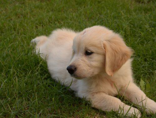Golden retriever puppy wat heb je nodig